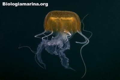 Medusa di benovic