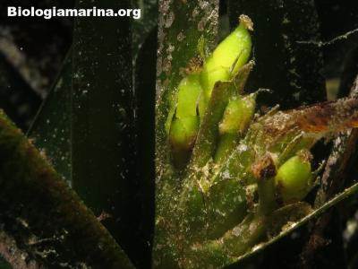 Posidonia-olive