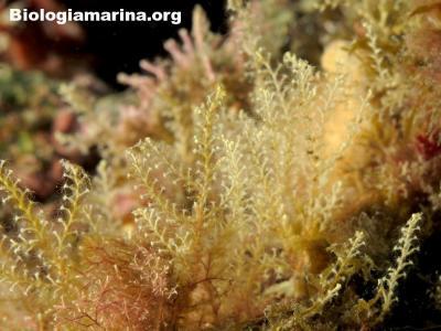 Sertularella sp.