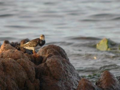 Uccello combattente